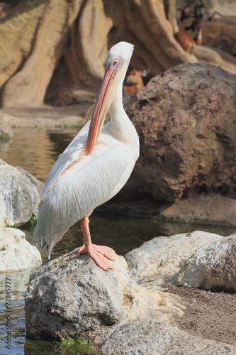 Fotografie, Obraz  Pelican in zoo