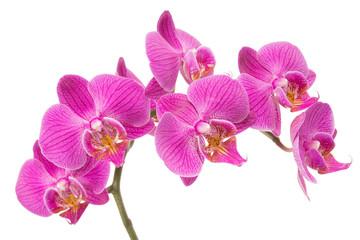 Fototapeta Orchid Flower