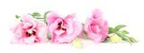 Beautiful pink eustoma isolated on white