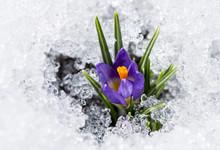 Purple Crocus With Snow