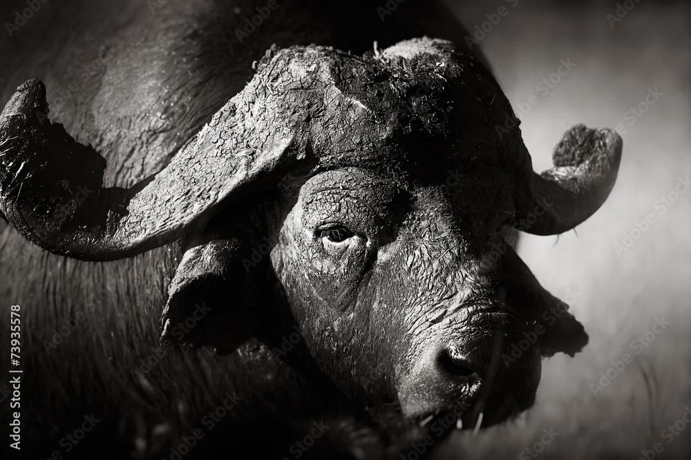 Fototapeta African buffalo bull Portrait
