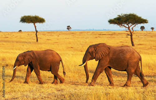 Staande foto Afrika Elephants on the Masai Mara in Africa