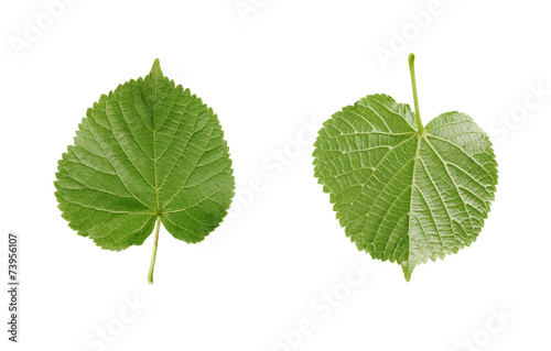 linden leaf isolated on white