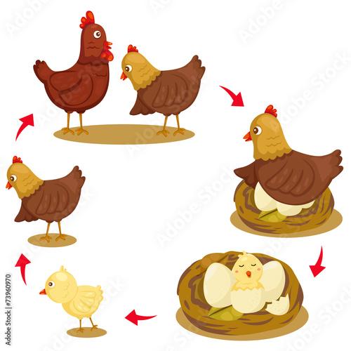 Illustrator of chicken life cycle Fototapeta