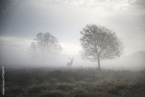 Poster Cerf Red deer stag in atmospheric foggy Autumn landscape