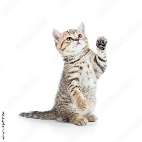 Obraz na płótnie playful kitten cat