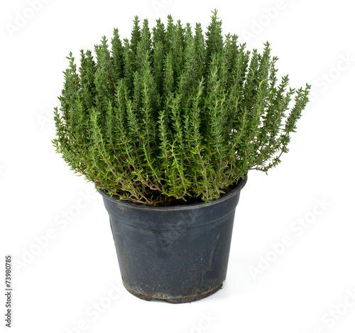 Fotografiet thyme in a pot