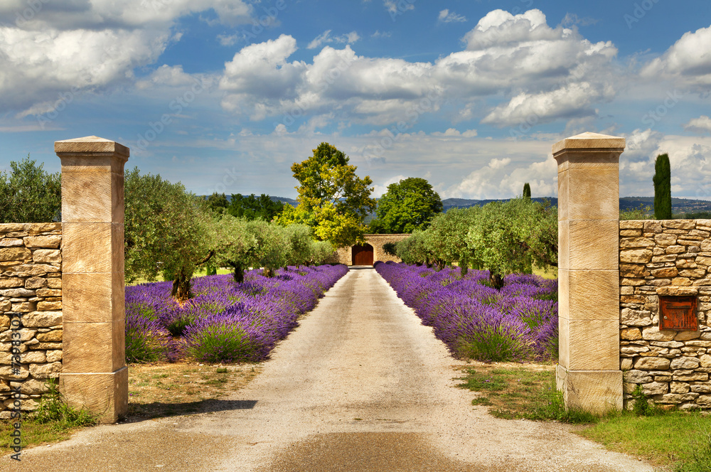 Fototapeta Path with lavender in Provence.