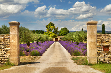 Obraz na Plexi Prowansalski Path with lavender in Provence.