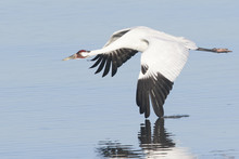 Whooping Crane In Flight With ...