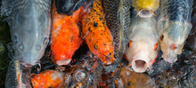 Lots Of Colorful Hungry Koi Fi...