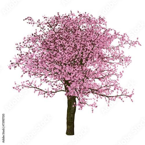 Sakura tree, cherry, isolated Wall mural