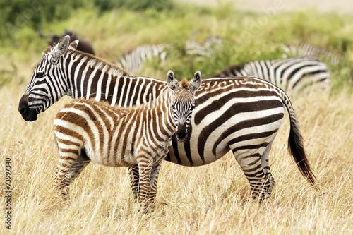 Staande foto Afrika Zebras on the Masai Mara in Africa
