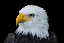 Closeup Portrait Of American B...