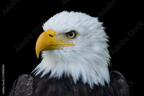 Closeup portrait of American Bald Eagle