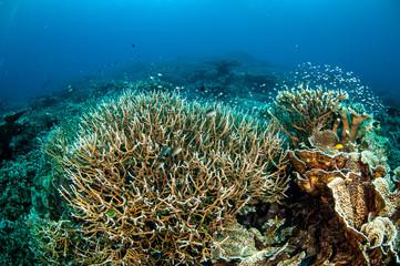Naklejka na ściany i meble Various hard coral reefs in Banda, Indonesia underwater photo