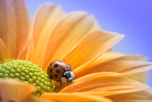 Ladybug On Yellow Daisy