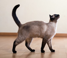 Full Length Shot Of  Siamese ...