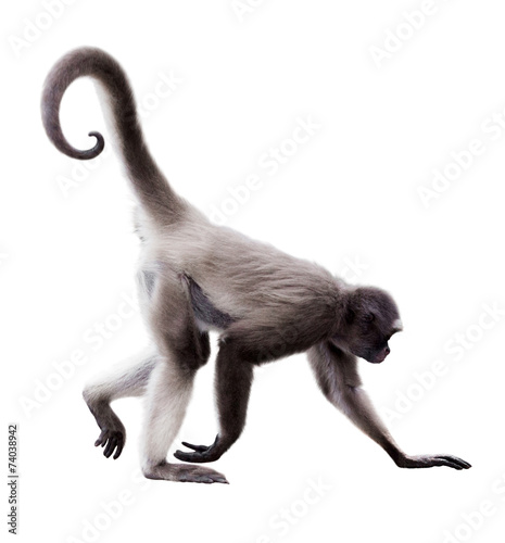 Foto op Canvas Aap long-haired spider monkey