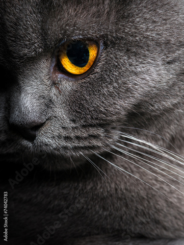 Canvas Prints Cat British shorthar face close up.
