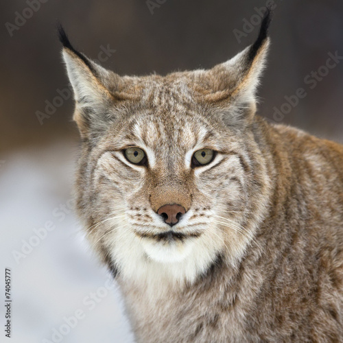 Poster Lynx Lynx looking into camera
