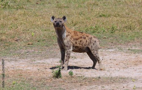 In de dag Hyena stehende Hyäne