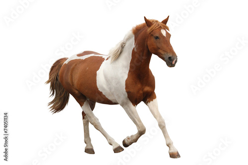 In de dag Paardrijden Skewbald pony galloping isolated on white