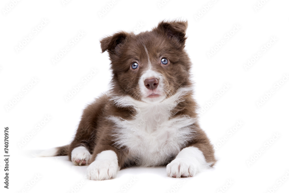 Fototapety, obrazy: Border Collie puppy dog in front of a white background