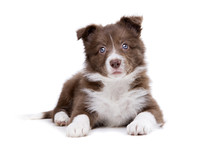 Border Collie Puppy Dog In Fro...