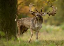 Fallow Deer (Dama Dama) During The Rut, UK