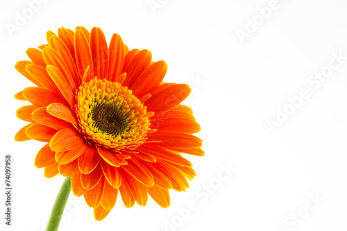 Foto op Plexiglas Gerbera Orange flower of gerber isolated on white background