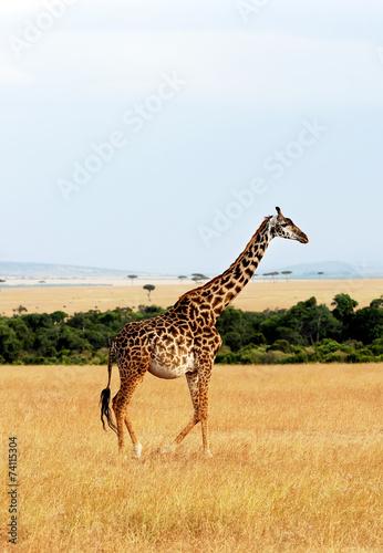 Poster Giraffe Giraffe on the Masai Mara in Africa