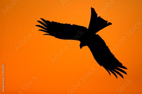 Photo  Silhouette of a red kite (Milvus milvus)