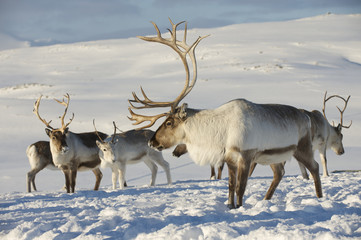 Fototapeta Skandynawski Reindeers in natural environment, Tromso region, Northern Norway