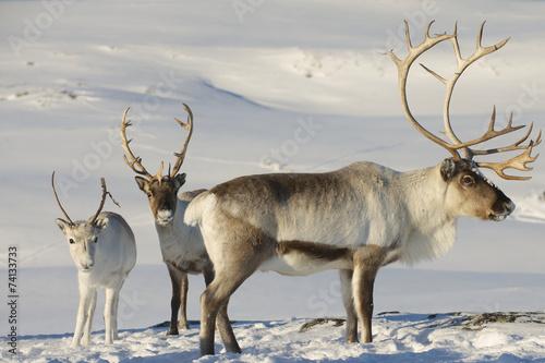 Reindeers in natural environment, Tromso region, Northern Norway Canvas-taulu
