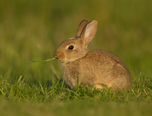 Bunny Eating A Blade Of Grass