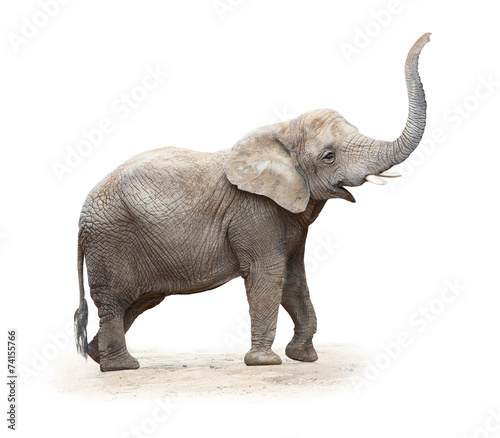 Foto op Aluminium Olifant Young female of The African elephant (Loxodonta africana).