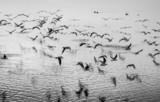 Mewy w ruchu, czarno-biały obraz artystyczny - 74175162