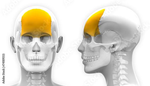 Photo  Female Frontal Bone Skull Anatomy - isolated on white