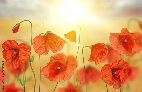 Poster Poppy groop of red poppy flowers under bright sunlight