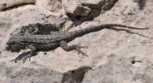 Eastern Fence Lizard In Texas