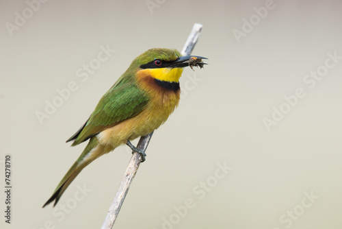 Fotografie, Obraz  Little-Bee Eater (Merops pusillus) perched holding a bee
