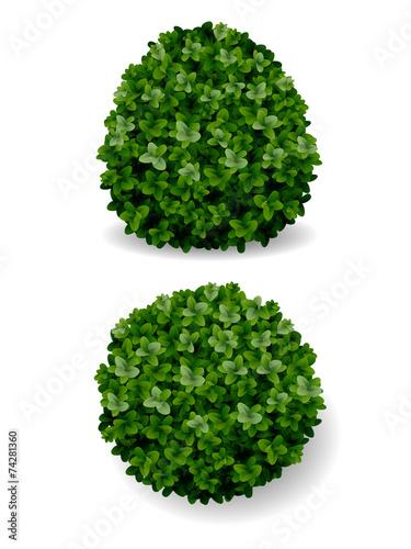 Foto  Bush dekorativen Buchsbaum