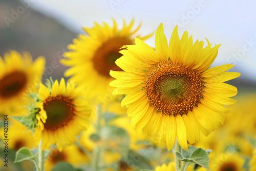 Poster Zonnebloem sunflowers
