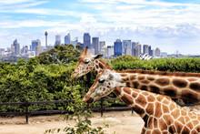 Sy CBD Taronga 2 Giraffes
