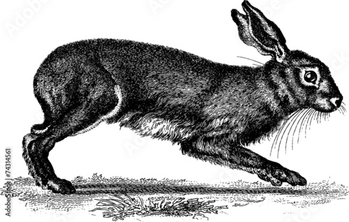 Valokuva Vintage Illustration hare rabbit