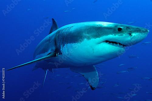 Fotografie, Obraz  Weisser Hai im tiefblauen Wasser