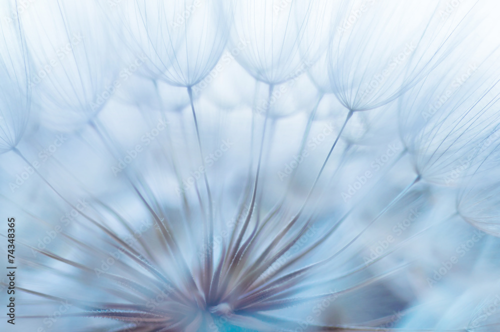 Fototapety, obrazy: Blue abstract dandelion flower background, closeup with soft foc