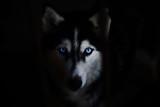 Fototapeta Dogs - siberian husky