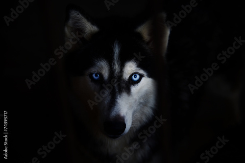 Door stickers Wolf siberian husky